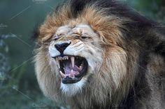 Lion (Panthera leo) by dirkr on @creativemarket