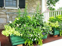 """2015 Porch Window Boxes--There are a lot of plants in these boxes. Two plants each of lemon licorice plant, double purple bacopa (the only """"color"""" in the box), golden creeping Jenny (lysimachia), white annual salvia, yellow tall snapdragons, 'Wasabi' coleus, double white million bells (calibrachoa), 'lemon light' yellow perennial salvia, light yellow lantana, green ivy, a low bright yellow I don't know the name of. All in my favorite tin Achla box"""