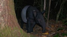 A camera trap video of a rare Malayan Tapir in Kaeng Krachan National Park, Thailand.  They are a very shy and cryptic animal and little is known about their full status in Thailand. A gentle herbivore that can be found in peninsula and western Thailand only, with Huai Kha Kaeng Wildlife Sanctuary and isolated sections of Mae Wong National Park thought to be the northern most limit of their Thailand range