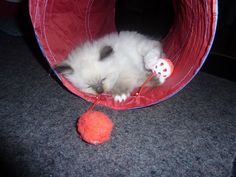 Brenn playing in the kitty tunnel