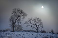 Ash Trees {Fraxinus excelsior} with low winter sun shining through freezing fog, Bonsall Moor, Peak District National Park, Derbyshire, UK. ...