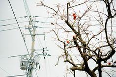 柿,電信柱 Transmission Line, Electric Power, Electrical Wiring, Utility Pole, City, Winter, Cities