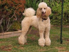 Poodle Grooming, Dog Grooming, Poodle Haircut Styles, French Poodles, Standard Poodles, Apricot Standard Poodle, Poodle Cuts, Cristian Dior, Puppy Cut