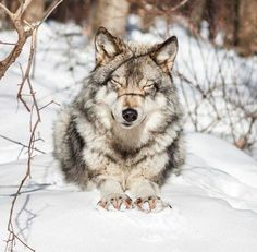 Nice to be a wolf. Wolf Photos, Wolf Pictures, Nature Animals, Animals And Pets, Cute Animals, Beautiful Creatures, Animals Beautiful, Wolf Hybrid, Lone Wolf