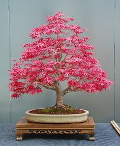 Bonsai styles are different ways of training your bonsai to grow the way you want it to. Get acquainted with these styles which are the basis of bonsai art. Bonsai Acer, Bonsai Plants, Bonsai Garden, Bonsai Trees, Succulents Garden, Air Plants, Cactus Plants, Ikebana, Mini Bonsai