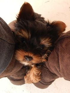 How do you put a Yorkie up for stud service?
