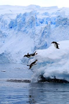 Gentoo Penguins plunge Photo by Cynthia Zhu -- National Geographic Your Shot