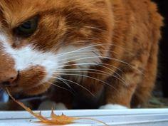 Can I eat it??? # #tinytiger... Follow us on Instagram :D #cats #cat #catlover #lovecats #funny #fun #cute #socute #feline #felines #felinefriend #fur #furry #paw #paws #kitten #kitty #kittens #kittycat #kittylove #fluffy #fluff