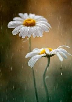 Amapolas, Margaritas y Girasoles - Poesia, pensamientos y reflexiones. When we approached the Flores & Gifs, White Flowers, Beautiful Flowers, Rain Flowers, Beautiful Live, Yellow Daisies, Beautiful Pictures, Daisy Love, Rainy Days