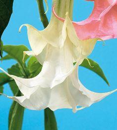 Kerrottu pasuunakukka Plants, Plant, Planets