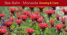 The Bee Balm plant, perennial Monarda fragrant flowers attract bees… Summer Blooming Flowers, Long Blooming Perennials, Hardy Perennials, Flowers Perennials, Bee Balm Flower, Blossom Flower, Zone 6 Plants, Bee Balm Plant, Plantain Lily