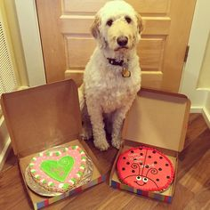 So my parents both surprised each other with a cookie cake for #valentinesday!  What am I going to do with these silly lovebirds #goldendoodlesofinstagram #goldendoodle #happyvalentinesday #doodle #doodlelove #sillyparents #bestwoof #ruffpost #clubdoodle #lacyandpaws #topdogphoto #excellent_dogs #buzzfeedanimals #doodletales #photos4ellen #dogsofinstagram #myoklahoma by alan_goldendoodle