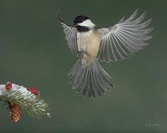 Chickadee in flight - Decisions Decisions - Gerry Sibell