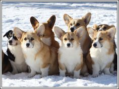 4 Dog Puppy Welsh Corgi Pembroke dogs puppies by ASLICEINTIME, $6.99