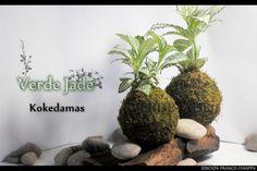 Kokedama Fittonia  Consultas: eve@verdejade.com  www.VerdeJade.com