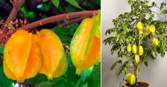 Do you like to grow this 'Superstar' of Asia at your home? - Plant Talk - NurseryLive Wikipedia