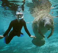 Crystal River, 70 miles north of Tampa, and find numerous places that will take you to where the West Indian Manatees are.