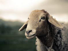 ewe of China