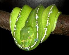 Photographies des différentes localités de l'espèce morelia viridis