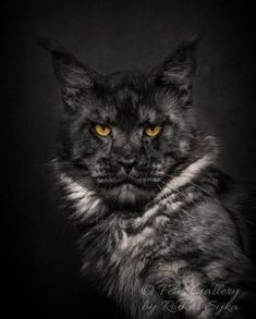 Maine Coon Cat Is One Of Large Size Cat Breeds That Awesome Pet for Catlover Gatos Maine Coon, Maine Coon Kittens, Cats And Kittens, Rare Tattoos, What Cats Can Eat, Photos With Dog, Family Photos, Cat Whisperer, F2 Savannah Cat