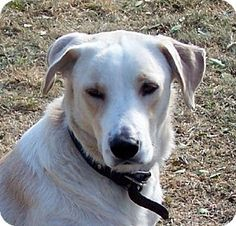 Conway, AR - Labrador Retriever/Great Pyrenees Mix. Meet Rufus, a dog for adoption. http://www.adoptapet.com/pet/14288685-conway-arkansas-labrador-retriever-mix