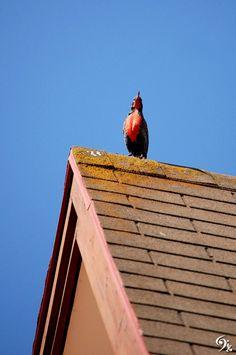 Sturnella loyca en el techo del vecino, Maitencillo, Puchucaví, Región de Valparaíso, Chile.