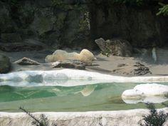 Zoo di Central Park: Orso polare