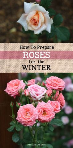 Love roses? Winter snow, ice, and wind can be rough on rose vines and shrubs. With some simple precautions, you can keep your roses protected through the cold months and ready to bloom again when the warm weather returns. #sponsored