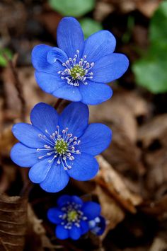blue ~ Hepatica nobilis