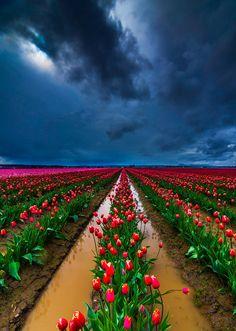 Plantación de tulipanes en  Valley, Washington