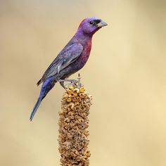 Varied Bunting Deep Autumn, Deep Winter, Autumn Nature, Main Colors, Colours, World Images, Think Of Me, Dress For Success, Wildlife Photography