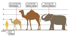 The Bactrian Camel is one of two major camel species and has two humps.Amazing physiology to survive some of the harshest climates on earth. Female Cow, Operant Conditioning, Bactrian Camel, Waiting For Her, African Elephant, Mammals, Deserts, Survival, Ships