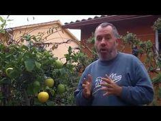Retirada de acodo de un limonero (citrus) primavera 2015. - YouTube