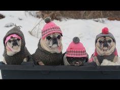 Pugs On A Sled