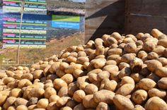 """Bretagne - Les pommes de terre biologiques """"Mona Lisa""""  de la ferme insulaire de l'île de Quéménès, Finistère (les plants sont amendés au goëmon)"""