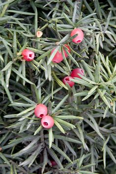 Hicks Yew is an excellent evergreen shrub for tall hedges, displaying glossy dark green foliage. Long, upright growing branches form a narrow, columnar habit. Provide well drained soil for best performance. Winter Plants, Winter Garden, Evergreen Shrubs, Trees And Shrubs, Landscaping Plants, Garden Plants, Container Plants, Container Gardening, Toxic Plants For Cats