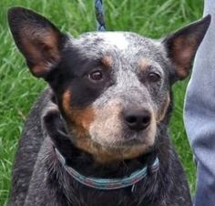 This is the site that had Clover, who is now our sweet doggie!!!  Clover is an adoptable Australian Cattle Dog (Blue Heeler) Dog in Joliet, IL. Clover is new to the rescue. Updates coming soon. Thank you for considering a rescue cattle dog from ACD Rescue of IL. Our...