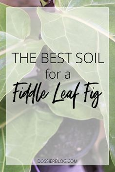 Read this guide to Fiddle Leaf Fig soil & repotting for instructions on what soil is best, what size pot to use and how to repot your plant in fresh soil. Fiddle Leaf Fig Tree, Fiddle Fig, Fake Plants, Indoor Plants, Inside Plants, Potted Plants, House Plant Care, House Plants, Fig Leaves