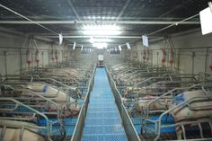 Perché la crudeltà e gli abusi verso gli animali negli allevamenti intensivi fanno parte del sistema   Animal Equality Italia