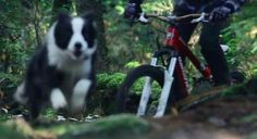 Border Collie shreds trail faster than her mountain-biking owner (VIDEO) » DogHeirs | Where Dogs Are Family « Keywords: mountain biking, biking, border collie