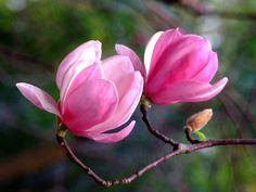 "Photo taken at the Zoological & Botanical Garden, Hong Kong  紫玉蘭(学名:Magnolia liliiflora)是木蘭科木蘭屬落叶灌木或小喬木,為中國特有植物,分布在中國大陸的云南、福建、湖北、四川等地。紫玉蘭花朵艷麗怡人,芳香淡雅,不論是孤植或叢植都很美觀,树形婀娜,枝繁花茂,是優良的庭園、街道绿化植物。紫玉蘭在中國已被評為易危植物,且不易移植和養護,因此是非常珍贵的花木。紫玉蘭樹皮、葉、花蕾均可入药,花蕾入药称 ""辛夷"",系名贵中药材,可乾用或鲜用,具有降壓、發散風寒,宣通鼻竅,輕身明目,延年益壽的功效。   The purple magnolia (scientific name: Magnolia liliiflora) Belonging to the Magnoliaceae family are deciduous shrubs or small trees, endemic plants in China, located in mainland China in the provinces ..."