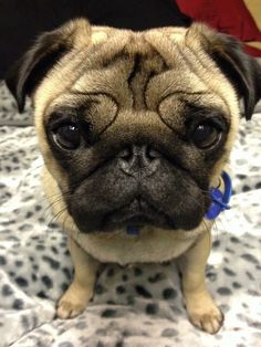 Button nose puggy...awwww!