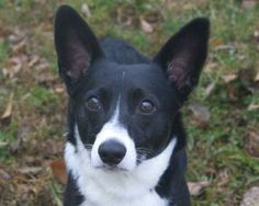 Meet Pammy A Boston Terrier Mix Who Is 1 2 Years Old And Weighs 30 35 Lb She Just Had