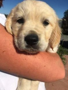 "Fantastic ""golden retrievers"" information is readily available on our site. Take a look and you will not be sorry you did. Dogs Golden Retriever, Golden Retrievers, Retriever Puppies, Fluffy Animals, Animals And Pets, Wild Animals, Pet Dogs, Dogs And Puppies, Most Popular Dog Breeds"