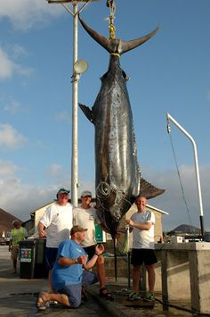 A pub landlord is believed to have hooked the biggest fish ever caught by a British angler - an Atlantic blue marlin that weighed 1,320 pounds (599kg). Kevin Gardner (right) spent three hours reeling in the fish during a big game angling trip to Ascension Island. The marlin, measuring 20 feet four inches (6.2m), is thought to be the fourth biggest fish ever caught.
