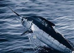 Fishing Costa Rica - join us on a sport fishing adventure of a lifetime. Marlin Bleu, Marlin Azul, Blue Marlin, Sport Fishing, Gone Fishing, Sea Fishing, Marlin Fishing, Offshore Fishing, Animals