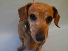 SUPER URGENT Manhattan Center CANELLA – A1085027  SPAYED FEMALE, TAN / WHITE, DACHSHUND, 8 yrs OWNER SUR – EVALUATE, NO HOLD Reason LLORDPRIVA Intake condition EXAM REQ Intake Date 08/11/2016