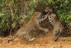 Animal Planet Wildlife Photographer Of The Year 2013 jaguar-fight