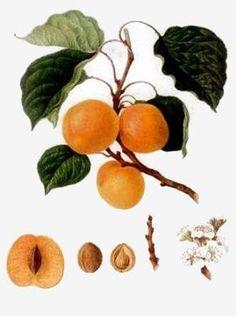 Tout savoir sur l'huile d'abricot