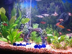 Setting up a freshwater aquarium is not as hard as you might think! Need some helpful advice? Are you new to this hobby but need a few starter tips? Whether you're a beginner or an aquarium enthusiast, you've come to the right place! Tropical Fish Aquarium, Tropical Fish Tanks, Aquarium Ideas, Fish Aquariums, Tanked Aquariums, Aquarium Design, Tropical Freshwater Fish, Freshwater Aquarium Fish, Pisces